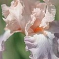 Iris Exquisite Beauty - Art Group